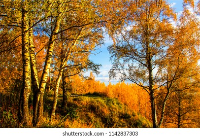 Autumn birch tree forest landscape. Birch tree forest in autumn season. Autumn birch forest panorama