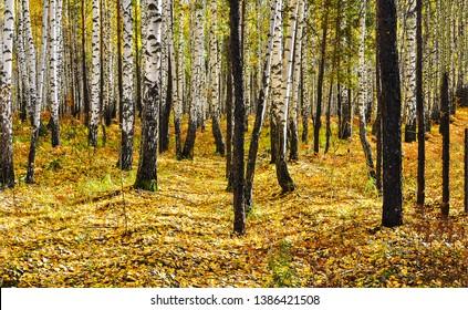Autumn birch tree forest landscape. Autumn birch woods view. Autumn birch trees background. Autumn birch trees view
