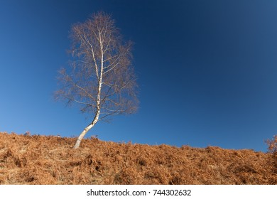 Autumn birch tree without leaves against blue sky