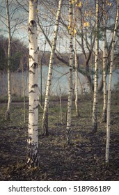 Autumn Birch Trees Near the River