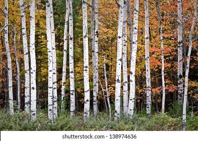 Autumn Birches Warm sunset light on autumn birch trees at Peninsula State Park in Door County, Wisconsin.