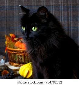 autumn black cat