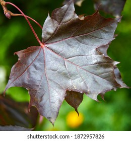 Autumn Black maple holly leaf with a metallic sheen