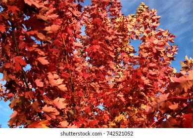 An autumn blaze maple in all its beautiful red and burnt orange glory with a pleasant blue background.