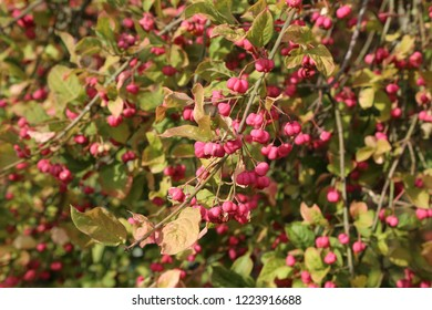 Autumn bloom. Euonymus. Shrub Blooming in Autumn.