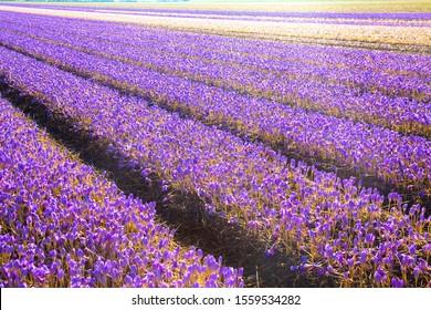 Saffron Crocus Images Stock Photos Vectors Shutterstock