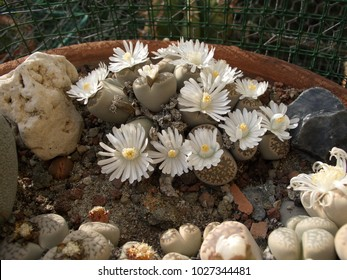 Autumn Blooming lithops