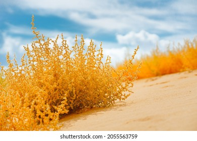 Autumn blooming Saltwort plant on the beach and bright cloudy sky on background. Prickly glasswort or prickly saltwort, an anual coastal plant