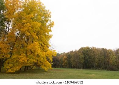 Autumn in a botanical garden. Big yellow maple in the botanical garden of Kishinev in Moldova.