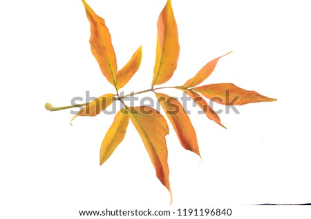 Autumn Branch Ashleaved Marple Acer Negundo Stock Photo Edit Now