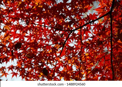 Autumn branch of maple tree with red leafs