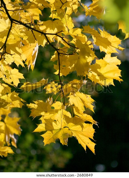 autumn branch maple with yellow sheet