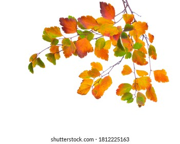 Autumn branches with small multi-colored leaves , isolated on white background. Spiraea Vanhouttei