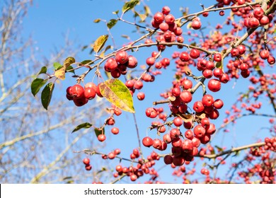 Autumn bright background with red rennet-apples. Apple tree with many ripe red apples against the bright blue sky.