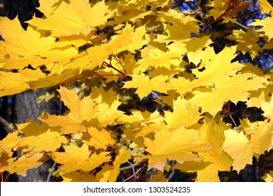 autumn bright yellow maple leaves in sunlight background