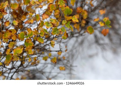 The autumn bush with yellow foliage under the first snow