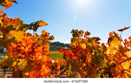 Autumn in a California wine country vineyard. Close up of colorful fall grape leaves that are back lit with sun flare. Copy space