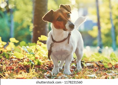 Autumn card with place for your text. The portrait Jack Russell Terrier dog sits under a tree on the green grass in the garden on a bright background of green foliage, sun rays and autumn trees