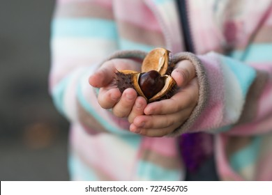 autumn Chestnut the fall , autumn background chestnuts, kid holding chestnut