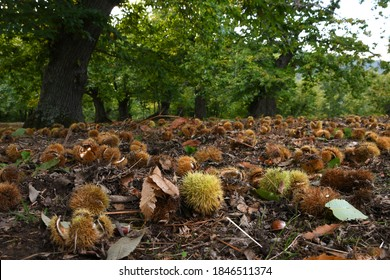Autumn. Chestnut forest in the Tuscan mountains. Hedgehogs and chestnuts fall to the ground. Time for the chestnuts harvest. shot from below.
