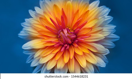 autumn chrysanthemum flowers close-up on a blurred background.