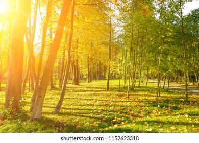 Autumn city park with bright yellow fallen leaves illuminated sun.