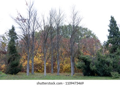 Autumn in the city park. Seven trees without leaves located in the background of bushes with yellow leaves. Fir trees are surrounding them.