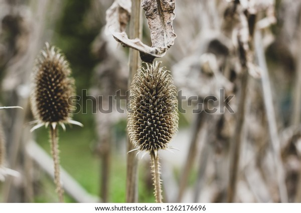 Autumn closeup of wild gray teasel flower head with seeds and stem on blurred heads and stems background. Dried Dipsacus flowering plants