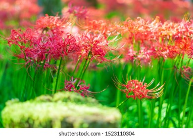 Autumn cluster amaryllis with green.
