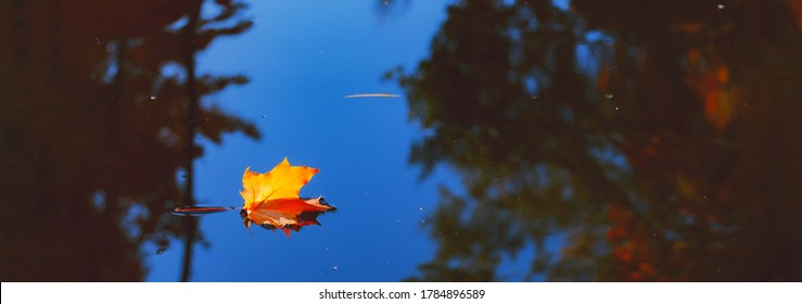 Autumn cold rainy day. Yellow orange maple leaf floating in lake. Vibrant color of fall season of nature. Calm forest park. Reflection of blue sky in clean water surface of pond. Tranquil zen concept. - Shutterstock ID 1784896589