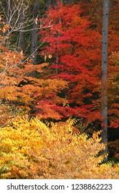 Autumn color (Maple)