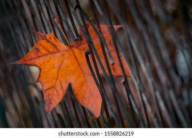 Autumn color plane tree leaf stuck in metal fence