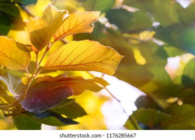 Autumn Colored Beech Tree leaves in sunlight