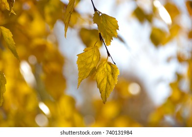 Autumn colored birch leaves shine in the sunny morning