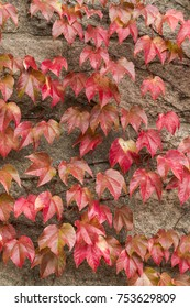 Autumn colored ivy leaves on vine branches hanging on stone wall