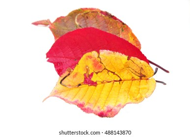 Autumn colored leaves from bird cherry tree