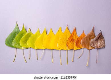Autumn colored leaves. The drying process of leaves from green and yellow to dry pea