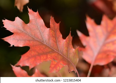 Autumn colored leaves of oak. Brown, red leaves.  Autumn background
