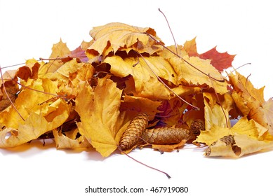Autumn colored maple leaves isolated on white background