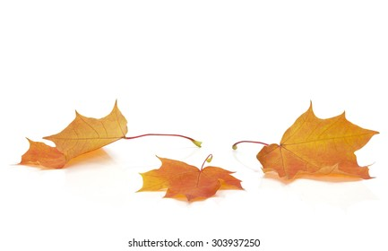Autumn colored maple leaves on white background with empty space copy