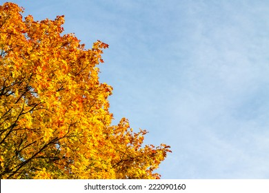 Autumn colored maple tree leaves against blue sky