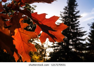 Autumn Colored Northern red oak Leaves in bright colours