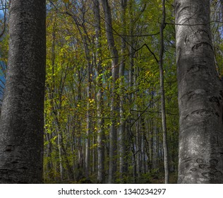 Autumn colored trees seen through tree trunks