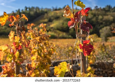 Autumn colors grapevine branch with yellow vineyard and hills on the background. France