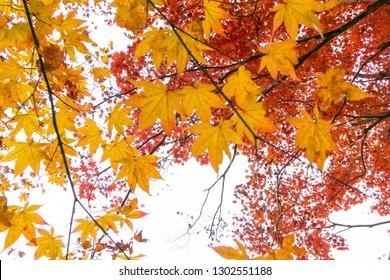 Autumn colors in Japan, Minokamo City, Gifu Prefecture