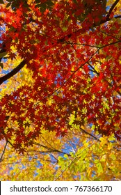 Autumn colors of Japanese Maples and Ginko biloba trees in a public park in Shinagawa Ward, Tokyo
