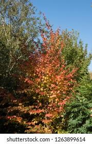 Autumn Colors of a Japanese Stewartia or Deciduous Camellia (Stewartia pseudocamellia) in a Woodland Garden in Rural Devon, England, UK