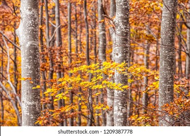 Autumn colors, leaves, beech trees in an italian forest. Dardagna, Corno alle Scale, Bologna, Italy