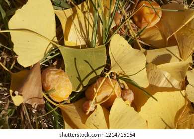 Autumn colors - leaves and fruits of Ginkgo biloba, ginkgo, maidenhair tree