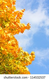 Autumn colors, Maple foliage. The Sugar Maple (Acer saccharum) is major source of sap for making maple syrup.